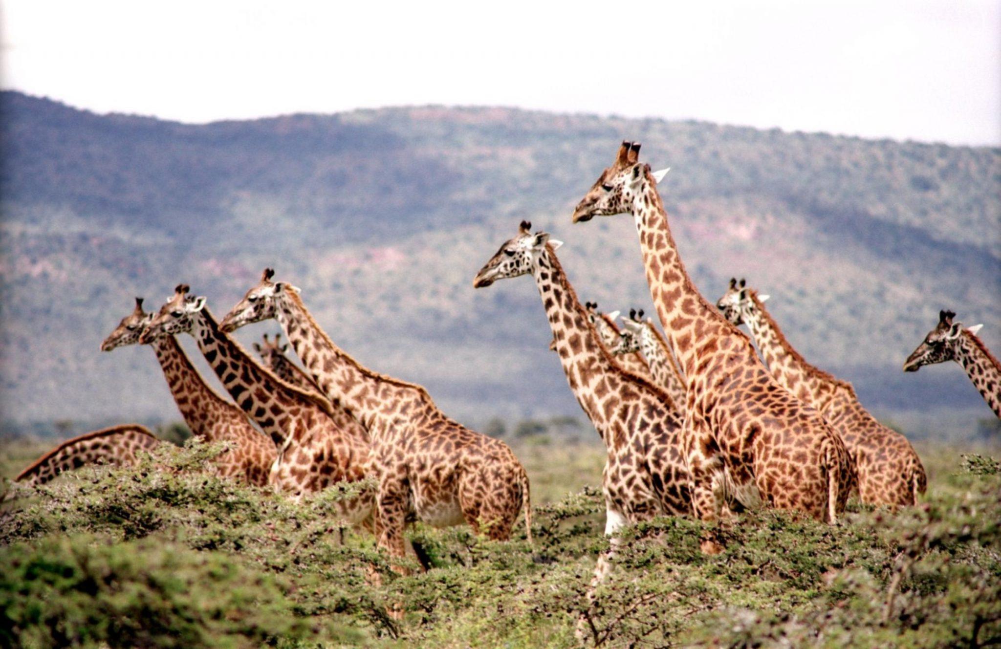 giraffe-657773